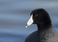 Coot portrait in front of icy blue water
