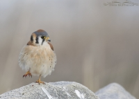 American Kestrel male standing on one foot