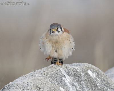 American Kestrel male with a bloody foot
