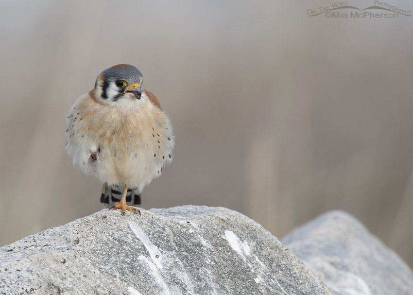 Male American Kestrel all puffed up
