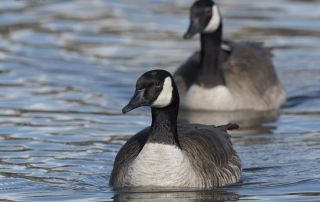 Canada Goose and mate