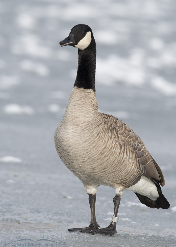 Canada Goose on ice