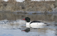 Male Common Merganser in icy water