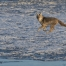 Coyote running on ice