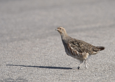 Gray Partridge crossing a road