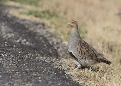 Gray Partridge next to a road