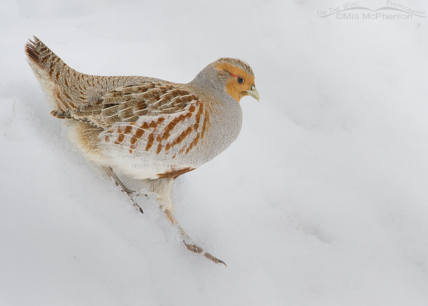 Gray Partridge walking down a bank of snow
