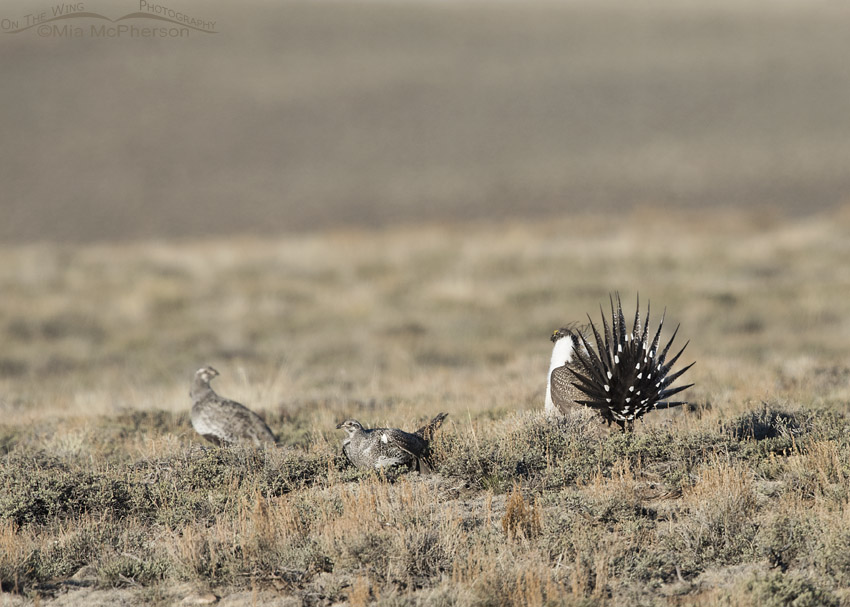 Courting Greater Sage-Grouse on a lek