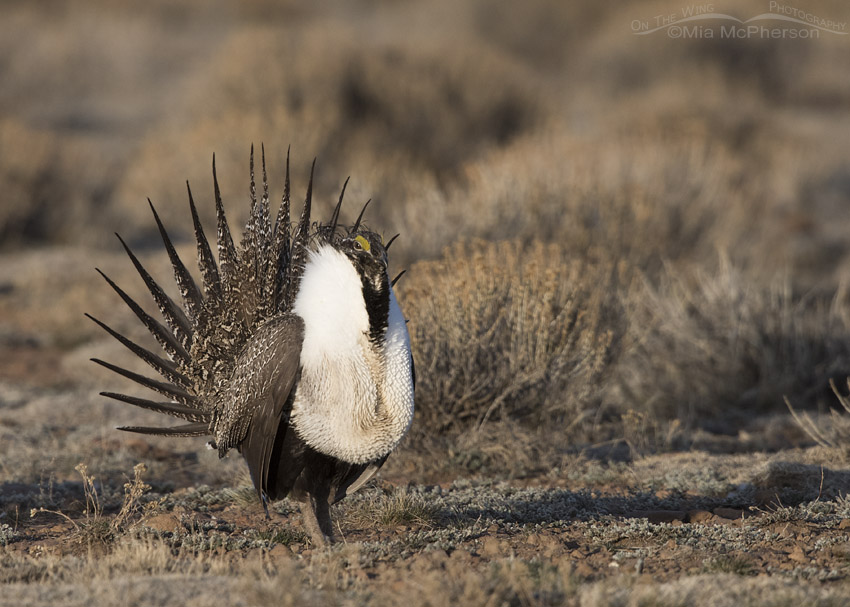 Morning light on a Greater Sage-Grouse