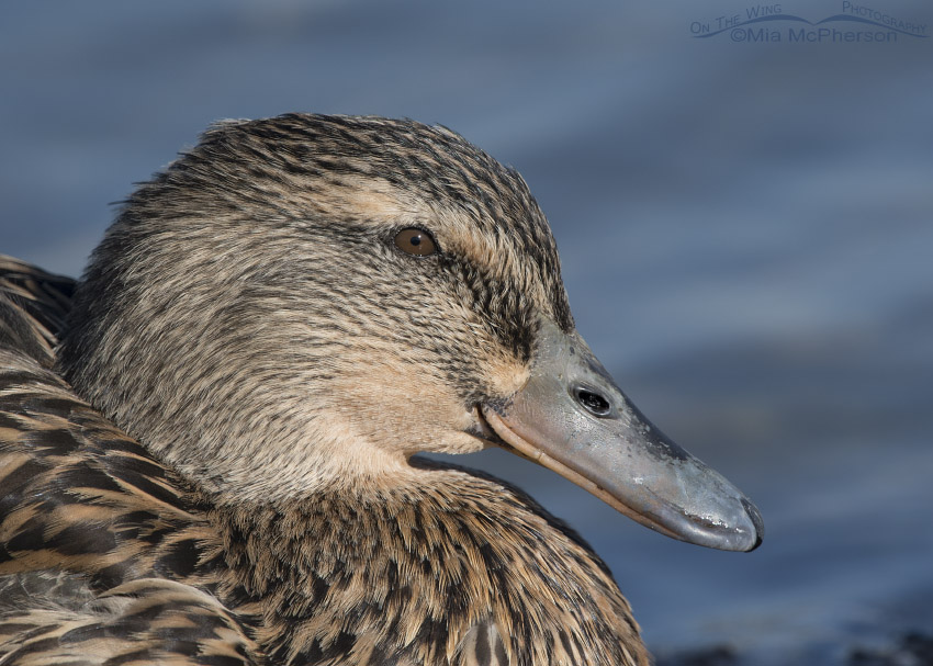 Dark relaxed Mallard portrait