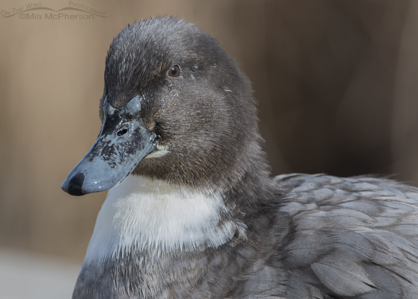 Chocolate colored Mallard hybrid portrait