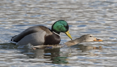 Mallards mating in February