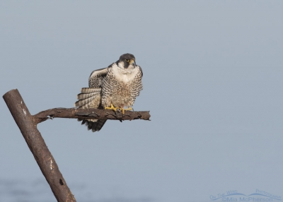 Peregrine Falcon wing and tail stretch
