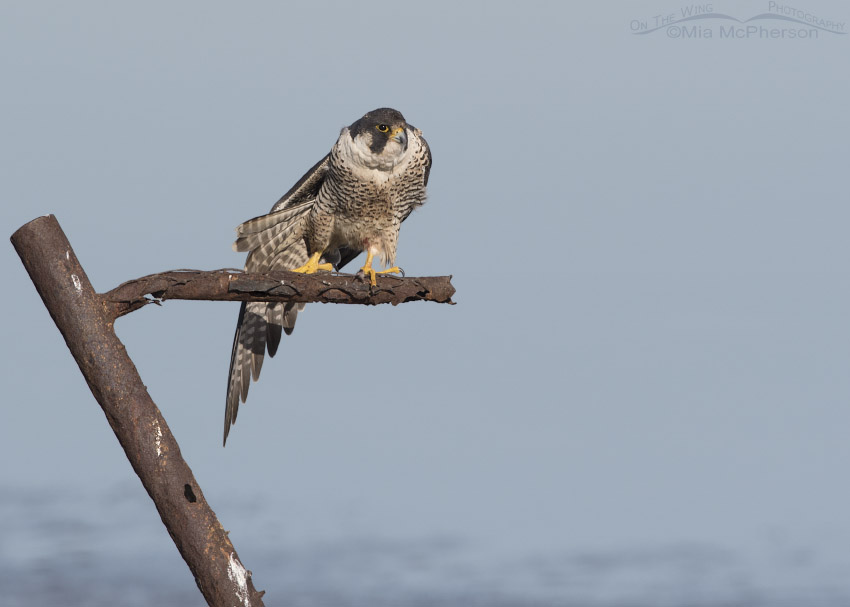 Peregrine Falcon stretching its wing and tail