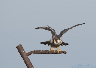 Peregrine Falcon stretching its wings