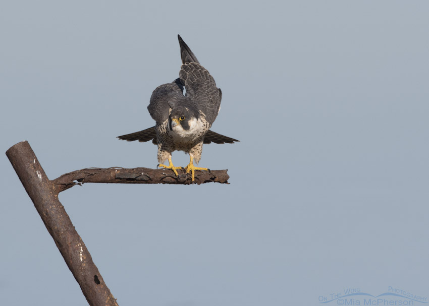 Peregrine Falcon settling its wings from stretching