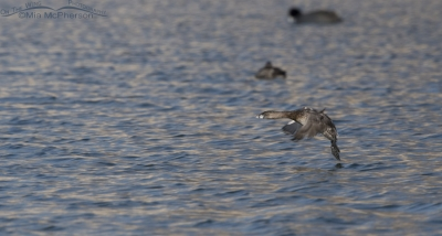 Pied-billed Grebe in flight over a pond