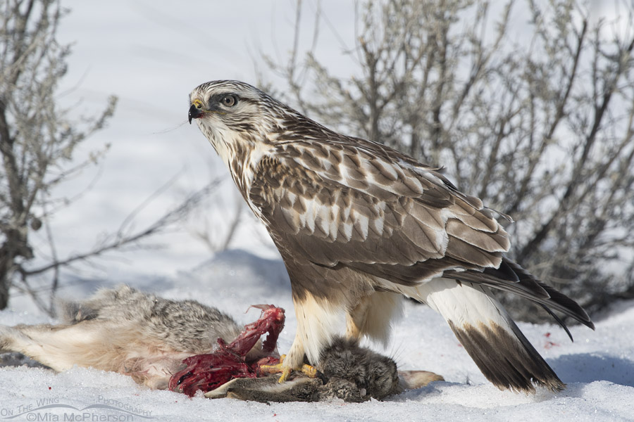 Rough-legged Hawk on a jackrabbit