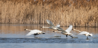 Tundra Swans lifting of at Bear River MBR