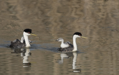 Family of Western Grebes at Bear River