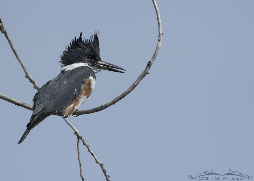 Female Belted Kingfisher looking for fish in a pond