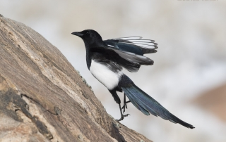 Black-billed Magpie jumping up on a rock