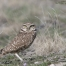 Squatting Burrowing Owl adult