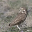 Burrowing Owl looking over its back