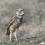 Burrowing Owl on alert near its burrow