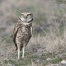 Adult Burrowing Owl on alert and standing tall
