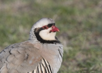 Fluffy Chukar portrait