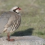 Watchful male Chukar
