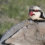 Chukar preening close up