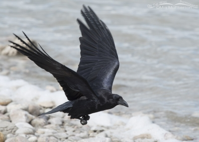 Common Raven flying over the shoreline of the Great Salt Lake