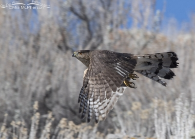 Cooper's Hawk fly by