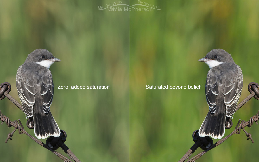 Juvenile Eastern Kingbird comparison