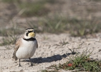 Territorial male Horned Lark simulating feeding