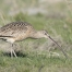 Long-billed Curlew using its bill to probe for prey