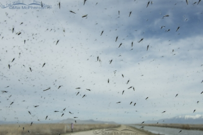 Midges all over my windshield