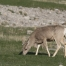 Mule Deer doe feeding on spring grasses