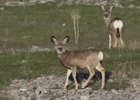Yearling Mule Deer on a grassy slope