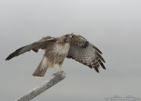 Red-tailed Hawk balancing in a fog