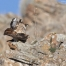 Red-tailed Hawks mating on a rocky outcropping