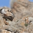 Red-tailed Hawks copulating