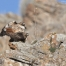 Red-tailed Hawk pair on the rocks