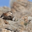 Copulating Red-tailed Hawk pair