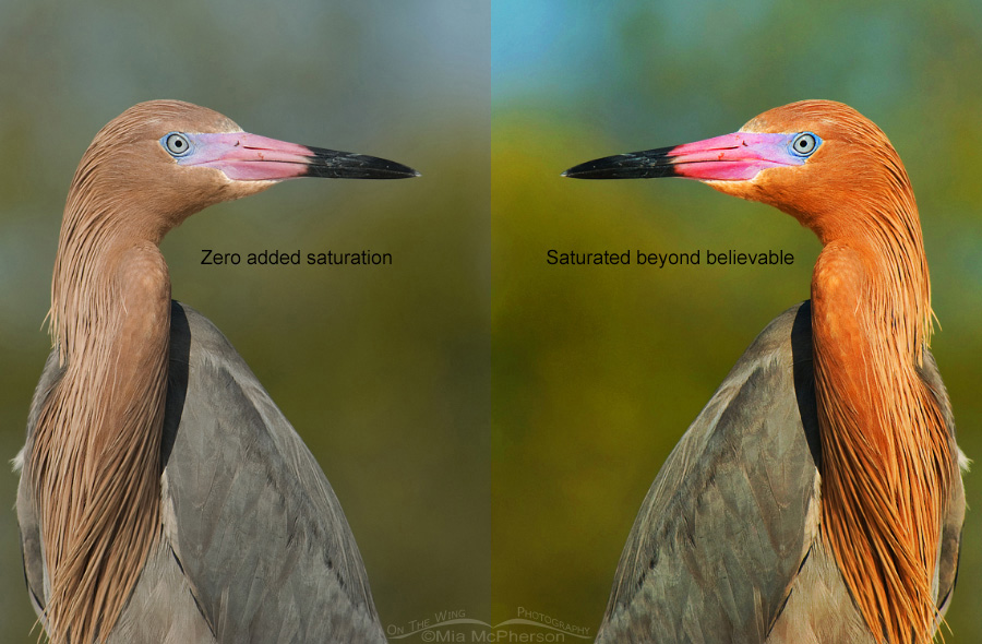 Reddish Egret portrait comparison