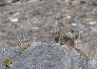 Rock Squirrel sunning on a rock
