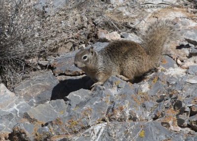 Rock Squirrel on a rocky slope