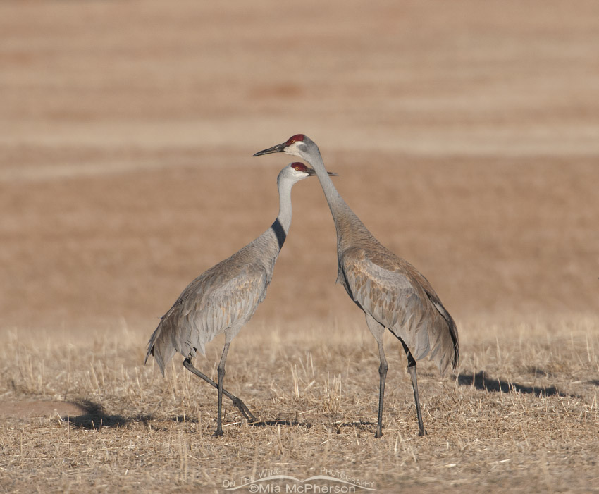 Pair of Sandhill Cranes on a stubble field